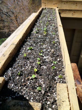 Radish Sprouts. In a container almost four feet long and eight inches wide, I was able to harvest over 50 radishes!