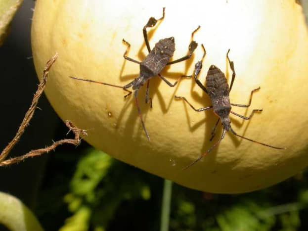 The squash bug is one of the main problems you might face when trying to grow summer squash.