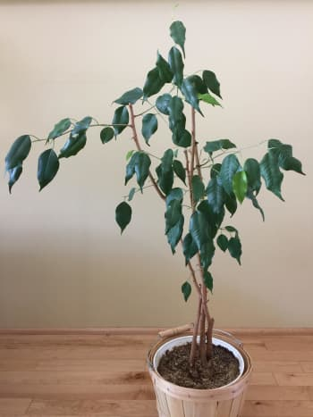 Front view of ficus Benji that has been placed against a wall.