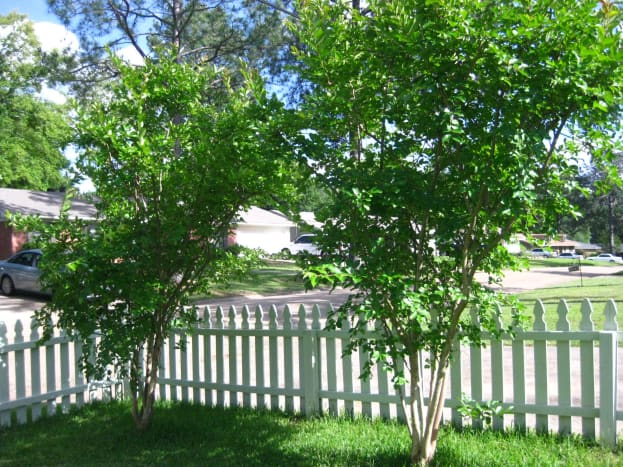 My blossom-less crepe myrtles