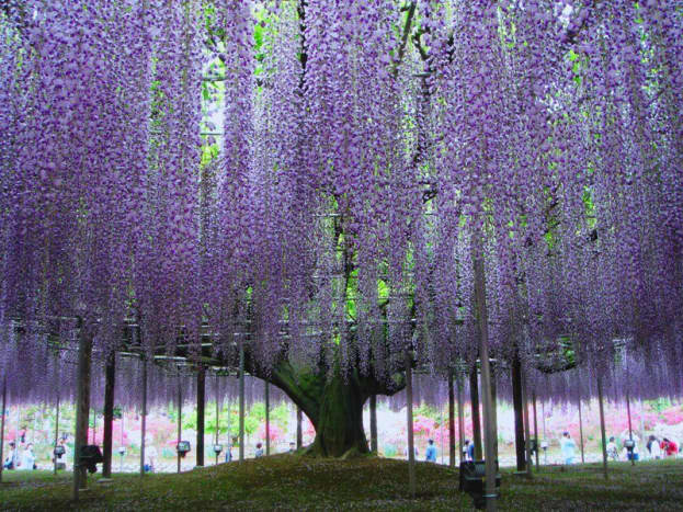 This beautiful, 150-year-old wisteria can be found in Japan.