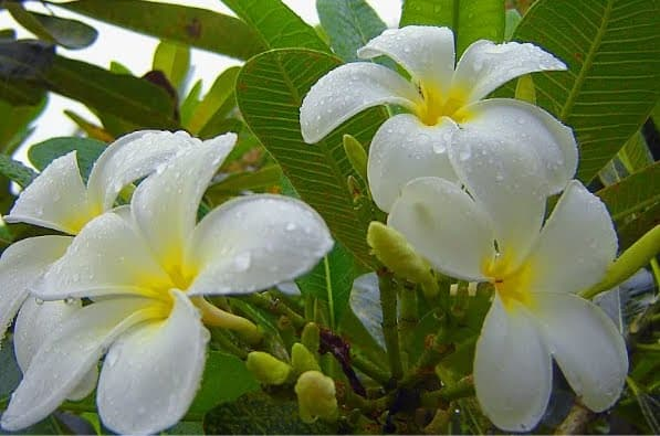 Plumeria is a common tree in the Philippines, where it is known as calachuchi or kalachuchi.