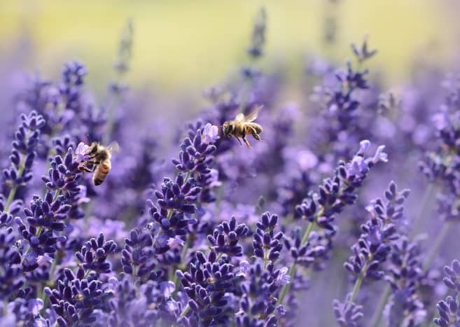Lavender is a wonderful flower to pick and uplift your mood with its heavenly scent.