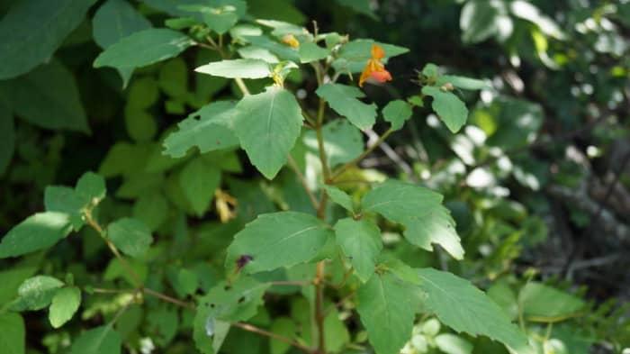 Jewelweed with its fiery-orange flowers.
