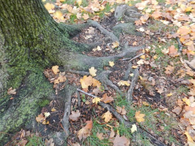 Above-ground roots are susceptible to winter damage.