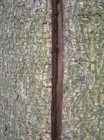 A split trunk caused by frost crack.