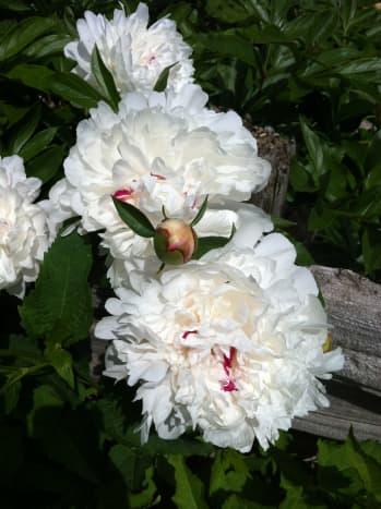 White peonies in the garden.