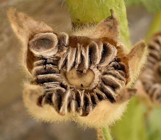 Hollyhock seeds are large and have fairly tough seed coats.