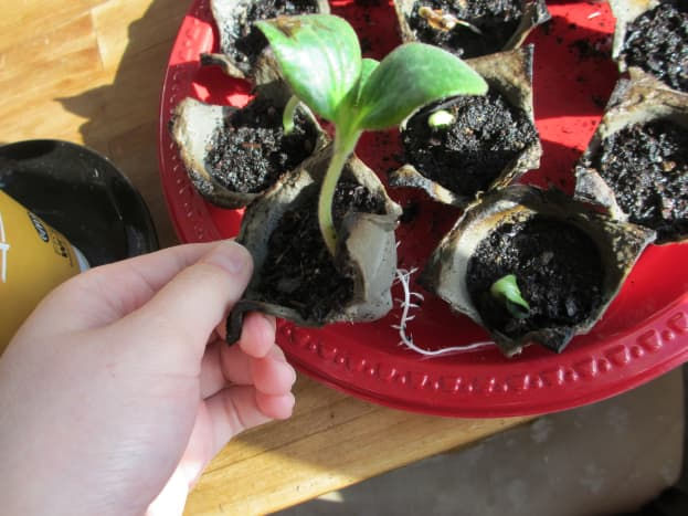 When your seedlings are sufficiently grown, you can plant the cups directly in the ground.