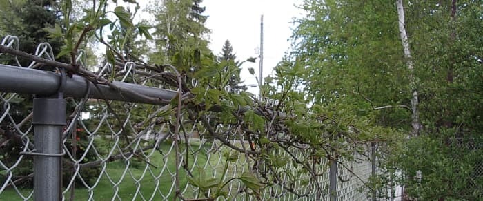 The Virginia Creeper as it begins world domination - from the top of your fence.