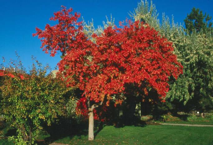 Amur maple as ornamental plant
