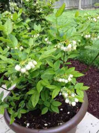 One of my blueberry bushes in a container and in full bloom!