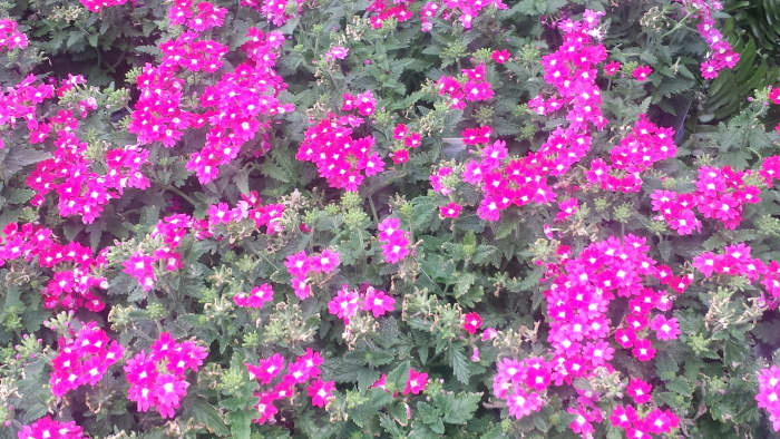 The Brightly Colored Verbena Flowers
