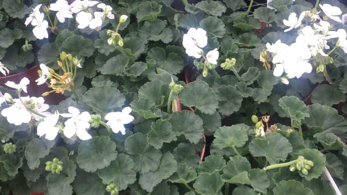 The Dazzling Zonal Geranium Flower