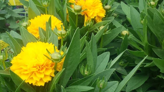 The Vibrant Solanna Golden Sphere Flower