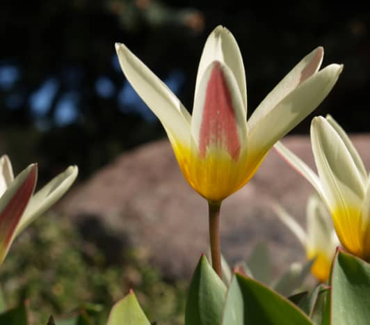 Waterlily tulip