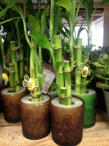 Per Chinese tradition, the more stalks of lucky bamboo you have, the luckier it is.