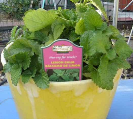 The lemon balm plant adds a subtle aroma of lemon to your workplace.