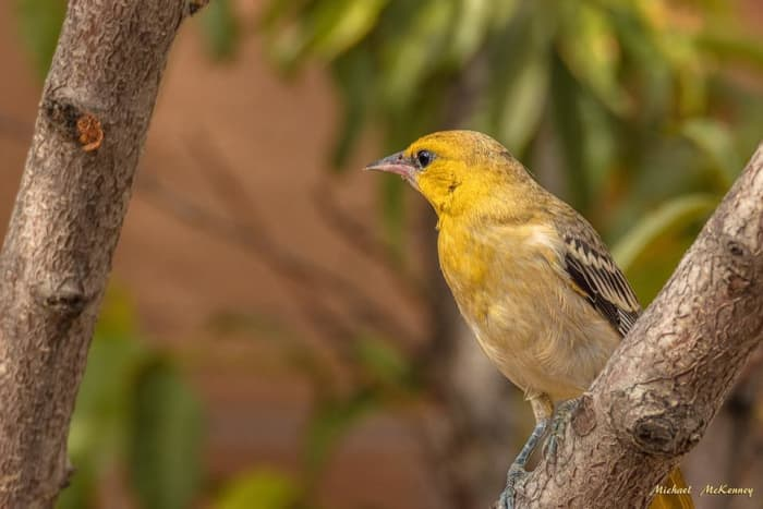 This female hooded oriole was first attracted to our yard by the wild plum tree but then something else caught her eye.