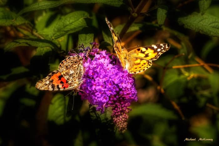 Butterflies naturally love the butterfly bush in our yard.  If you want to see a lot of butterflies, you might want to plant one of these beautiful bushes.