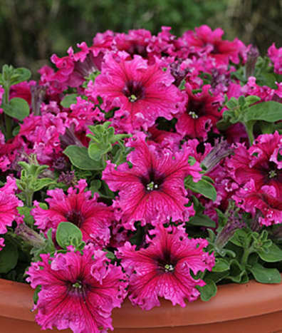 "As you can see, this newer variety of petunia, called Espresso Frappe Rose Hybrid, has more ""flair"" than older petunias."