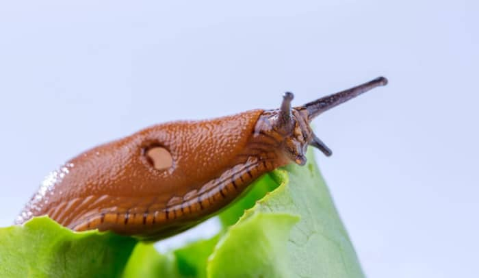 Slugs are pesky mollusks that will leave behind unsightly holes in all of your plant foliage, especially during wet weather.  They are slimy, without shells.  Snails are similar, but do have protective shells like the one in the photo below.