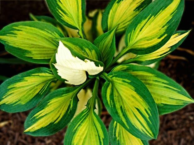 Gold and white foliage on this hosta illuminate up a shady corner.
