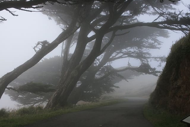 Cypress trees bent by wind along the foggy, northern California coast.