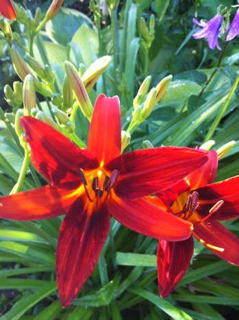 Red daylilies in my garden.