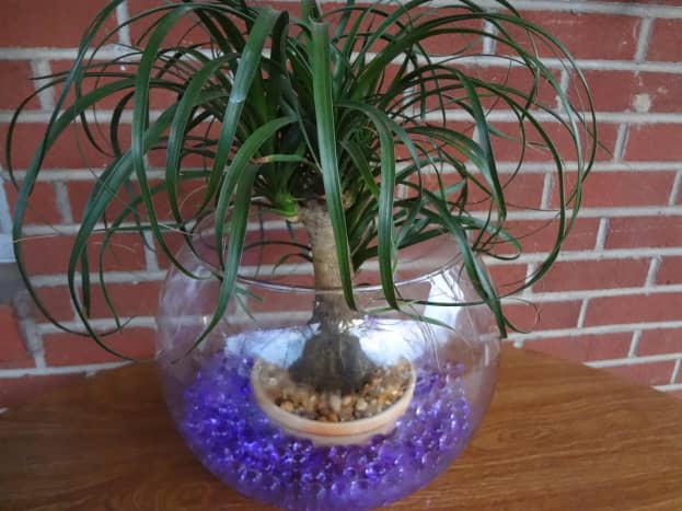 This plant is watered by the water beads surrounding the base of the pot.