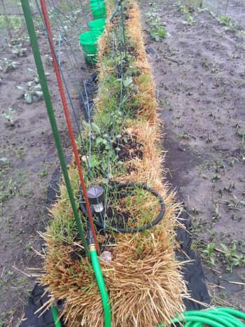 starting-a-straw-bale-garden