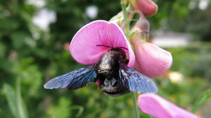 Carpenter bees are much larger than honey bees.