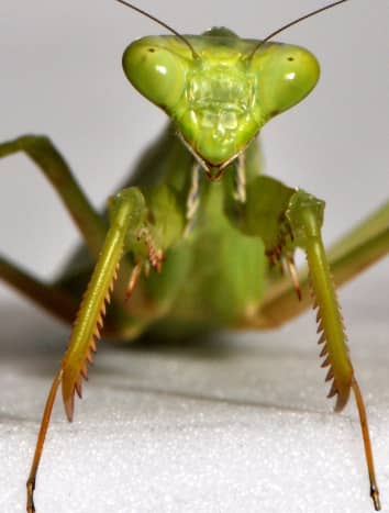 The praying mantis is the only known insect that can turn its head and look over its shoulder.