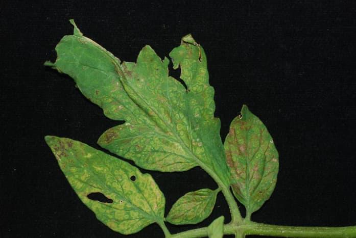 Tomato spotted wilt virus observed on tomato leaves.