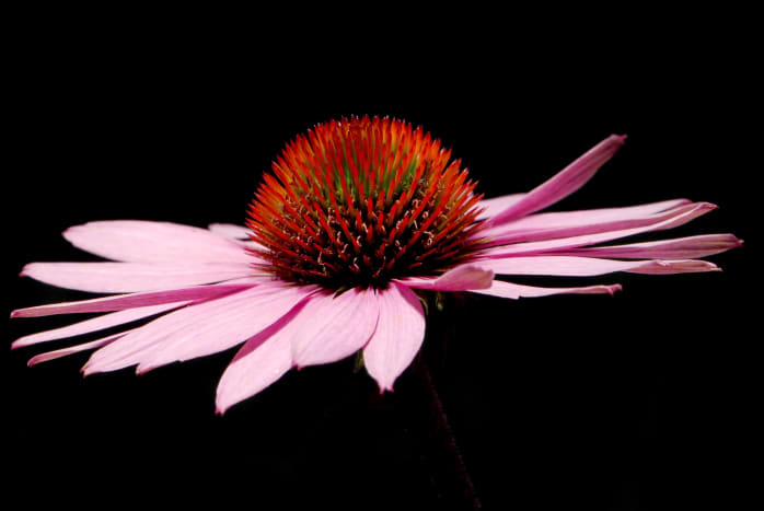 Echinacea is a non-toxic herb that is widely revered and used for its immune-stimulating and antibiotic properties.