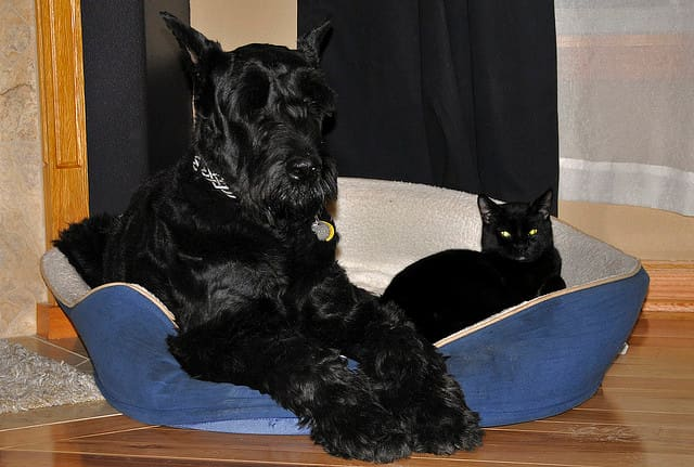 The Giant Schnauzer is a great large breed that does not shed much.