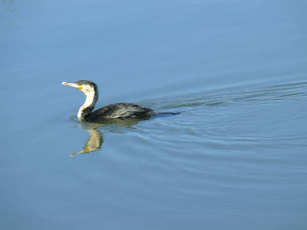 White-breasted Cormorant-Austin Roberts Bird Sanctuary