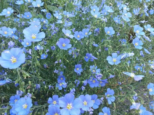 Flax plants are beautiful and useful, providing an array of products and cures for man and beast.