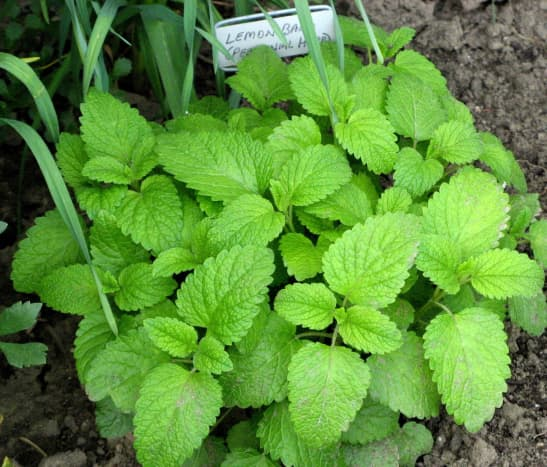 Lemon balm herb is the best known natural remedy for helping to heal herpes.