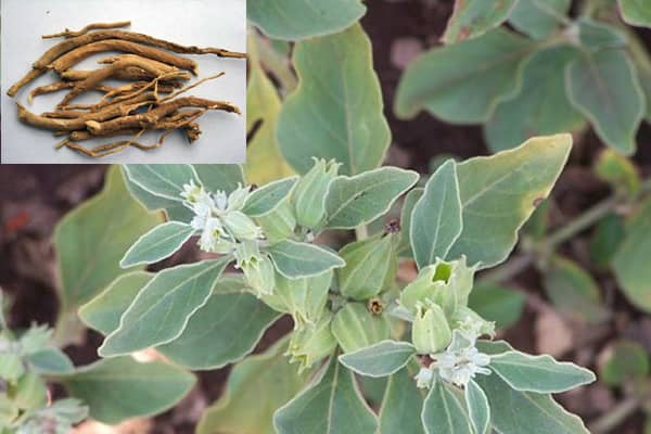 Ashwagandha Fruits and Inset Ashwagandha Roots