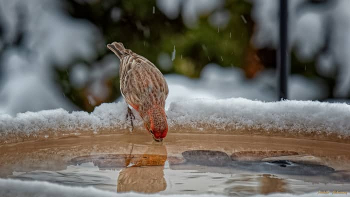 A bright, male house finch takes a drink of fresh water from our heated birdbath, then  flies away a happy camper.