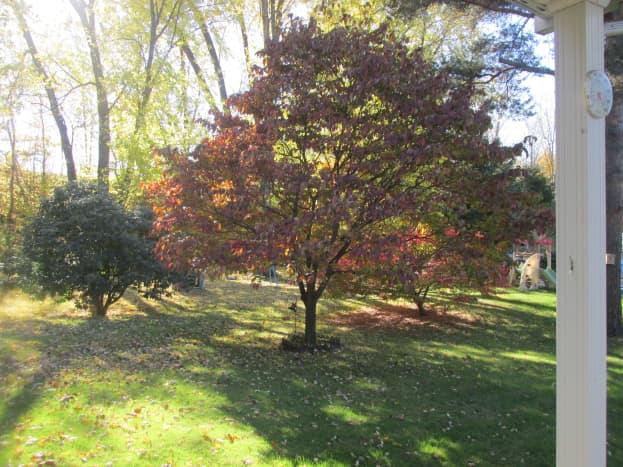 My Dogwood Tree