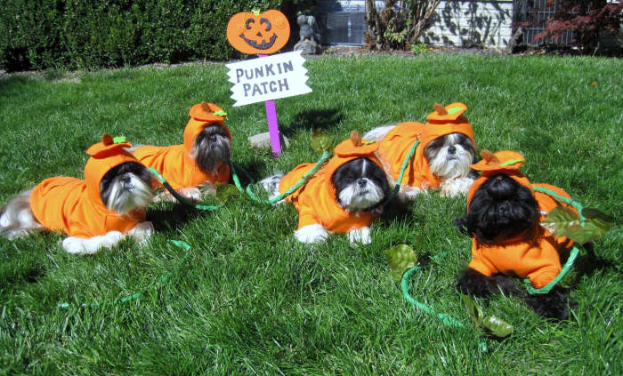 If you wish to see more cute photos like this check out the post titled Shih Tzu Dog Costume Photos including Merry Christmas Cards.