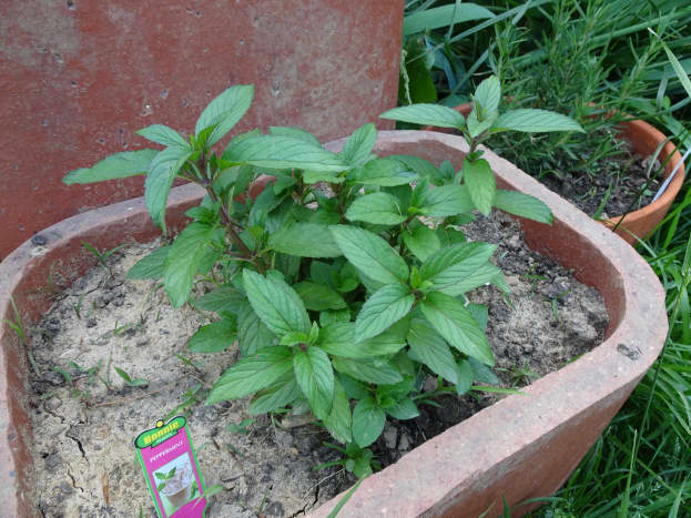 1. Find a spring of mint that is at least 5 inches tall