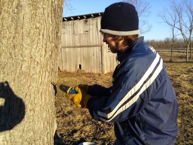 """Drilling a 7/16"""" hole in the tree for the spile."""