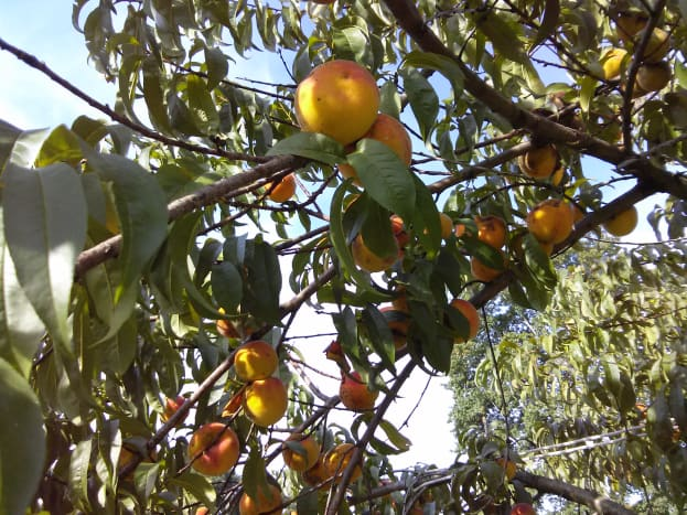 Peaches ready for picking.