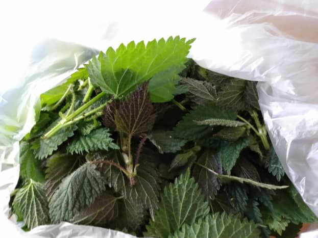 Raw nettles from my nature trail