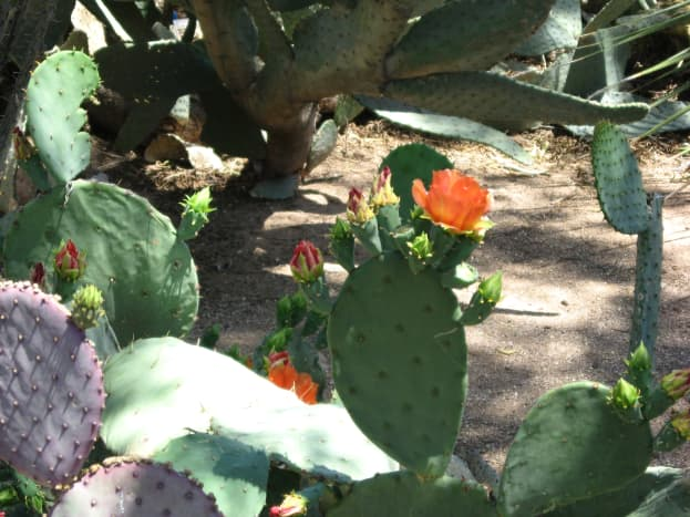 Orange flowers on a variety of prickly pear cactus