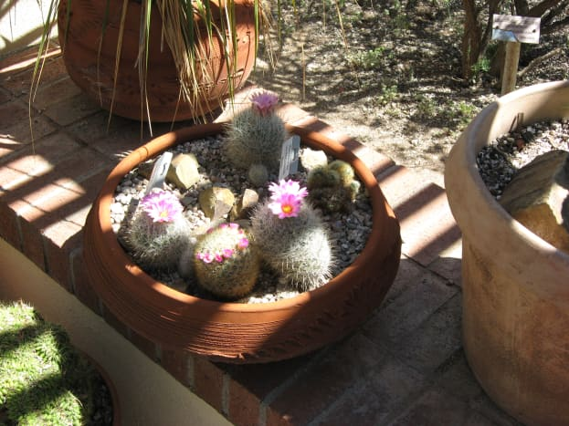 Thelocactus Cactus - a very small cactus (4 to 5 inches in height) with white prickers that look like fur.