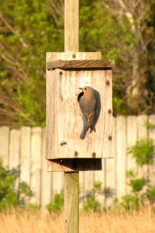 Female bluebird feeding young.